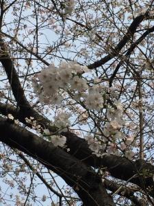 飯田橋駅近くの桜
