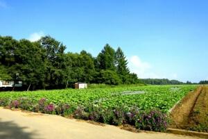 高原野菜の畑