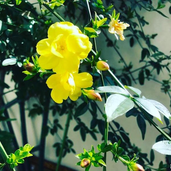 【Instagram】【花】庭で感じる春先日、ベランダにパンジーなど花を買いましたが、庭にはまだ花が足りないので、また時間作って買いにいきたいなと思いつつ、庭を見てみたら、今年も黄色い花が咲いてました。(花の名前が思い出せない…^^;) #花