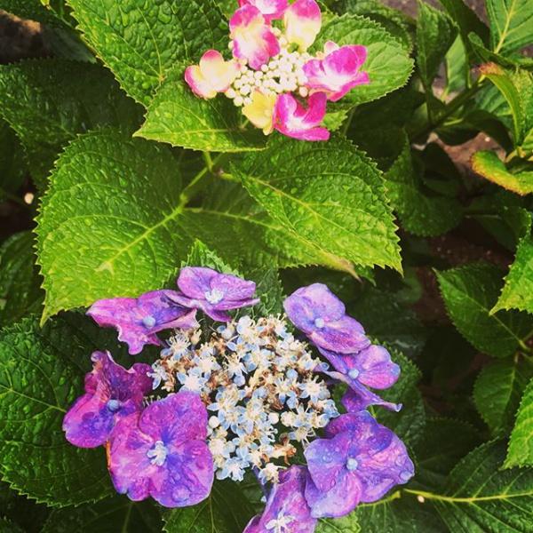 【Instagram】近所の通りに咲いている紫陽花。朝、雨が降っていて花びらがしっとり濡れてました。本来の紫陽花の姿を見られたような感じがしました。まだ満開でないのでこれから楽しみです(^^) #紫陽花 #梅雨