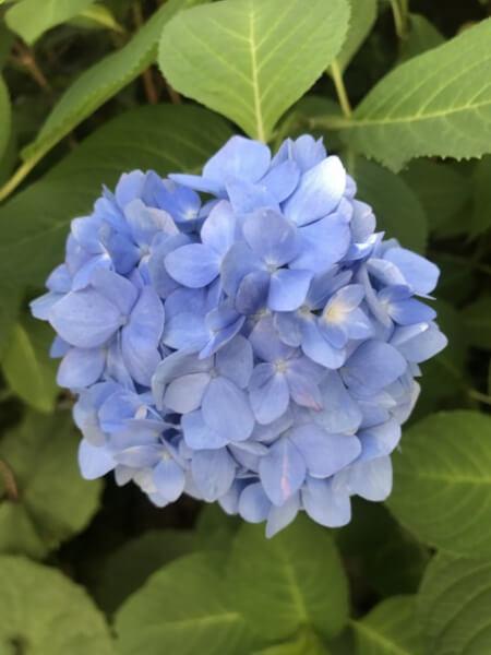 6月3日の紫陽花