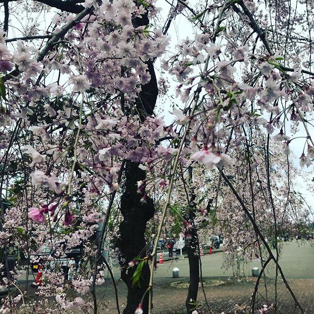 【Instagram】高田公園に来ました。殆ど葉桜でしたが、ピンク色も残ってたし、しだれ桜も綺麗でした(*^^*)#桜 #高田公園